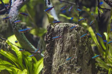 The cardinal tetra (Paracheirodon axelrodi) is a freshwater fish