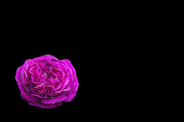e451ad4176b90c Close-up of pink rose flower isolated on black background with clipping  path and copy
