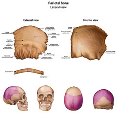 Types of bones of the head