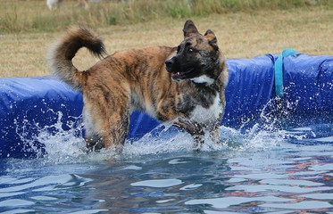 large mixed dog have fun in the pool