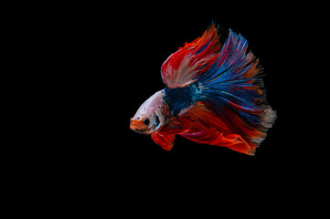 Siamese Fighting Fish isolated on black bacground Thai's betta is one of the most beautiful fish for tanks and aquariums