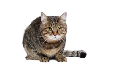 Laying big tabby cat isolated on white front view portrait