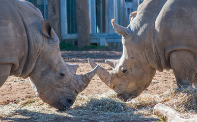 Two Rhinos Eating Together