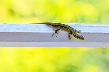 lizard on white wooden window frame on bright summer natural background