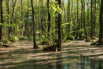 Erlenwald im Frühling