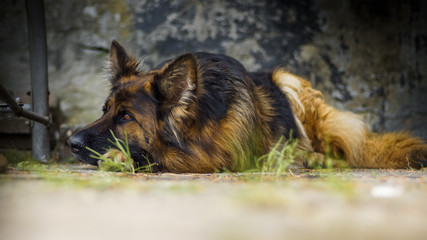 Adult German Shepherd in a portrait photo. A large dog lies peacefully on a concrete cube. Small depth of field.