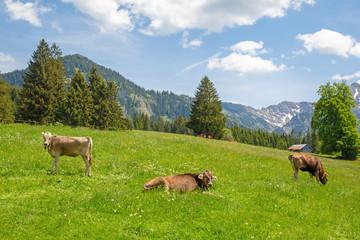 Kühe - Herde - Alpen - Allgäu - Berge