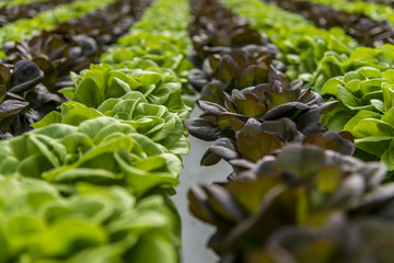 Lettuce hydroponic crops in greenhouse