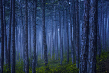 dreamy forest on misty morning