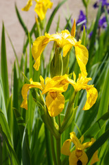 Iris pseudacorus yellow flowers