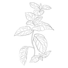 Vector illustration of mint. A branch of mint with flowers. Stylized plant. Linear Art. Black and white drawing by hand. Tattoo. Healing herb.
