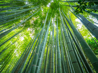 Tall Bamboo trees in an Japanese Forest