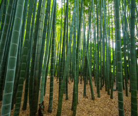 Bamboo Forest in Japan - a wonderful place for recreation