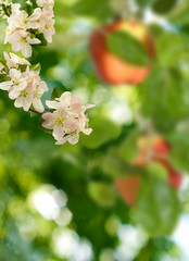 Fototapete - image of blossoming apple tree in garden close-up