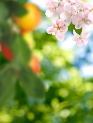 Fototapete - image of blossoming apple tree in garden closeup