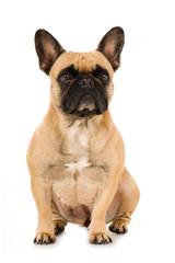 Sitzende französische Bulldogge isoliert auf weißem Grund