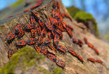 Pyrrhocoris apterus bugs