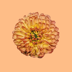 Dahlia on plain background, orange