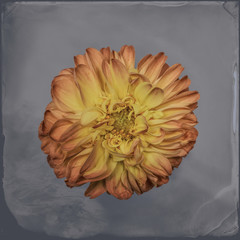 Dahlia on textured background, yellow