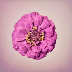 Zinnia flower, purple on textured background