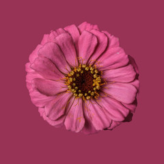 Zinnia flower, pink on plain background