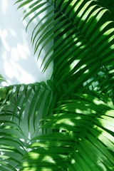 Wall Mural - palm leaves and shadows on a white wall background.