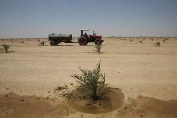Date palm trees are seen at a farm, on the outskirt of Kerbala