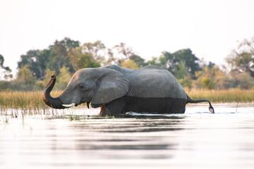 Elephant traversant un cours d'eau dans le delta de l'Okavango (Botswana, Afrique)