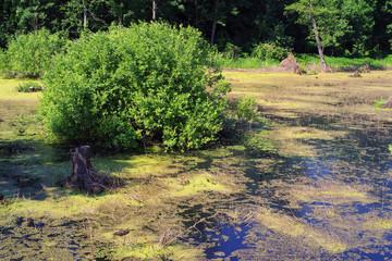 Beautiful swamp fauna, swamp landscape, swamp vegetation. Natural landscape
