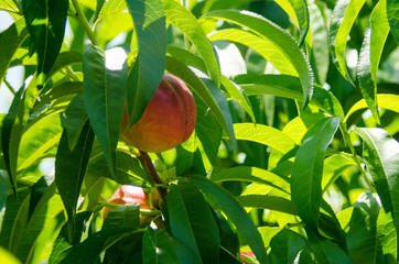 Peaches await harvest at a small farm