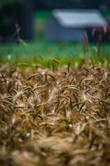 Wheat, field, agriculture, farm, Lancaster County, farmland, scenic, summer, harvest