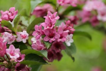 Blooming pink Weigela (Weigela hybrida)