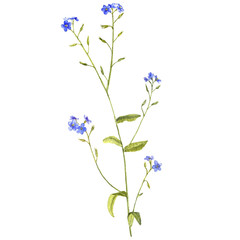 watercolor drawing flower of forget-me-nots
