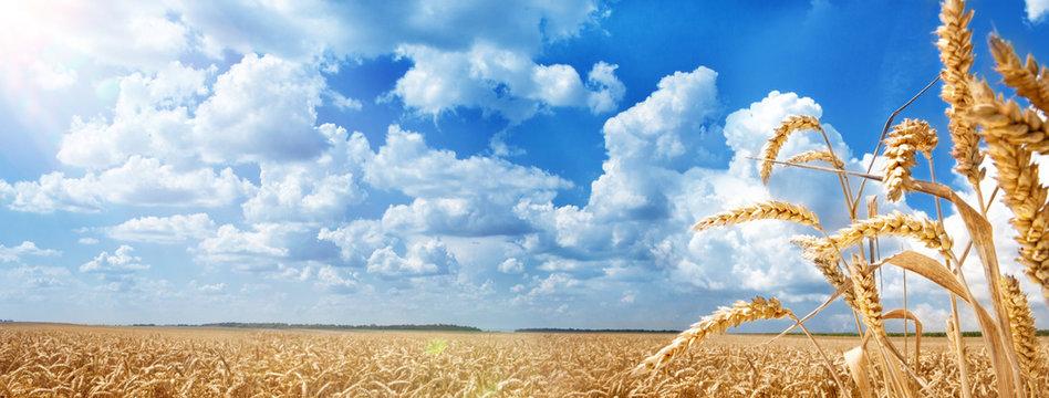 Summer Landscape of Golden Wheat Field