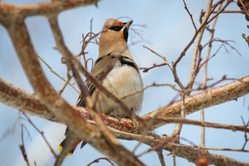 Waxwing bird sitting on a rowan tree