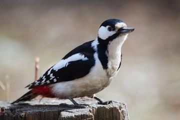 Motley woodpecker sitting on a stump