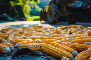 Corn cobs lying on road in Guangxi province
