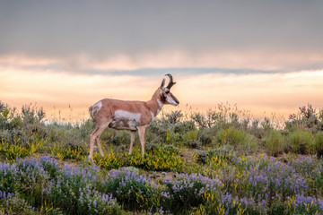 Buck Pronghorn Antelope with sagebrush and Wyoming wildflowers.