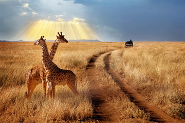 Group of giraffes in the Serengeti National Park on a sunset background with rays of sunlight. African safari. Beautiful rays of light in the sky. Wall mural