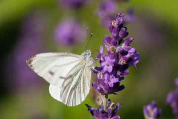 Kohlweißling - Schmetterling an Lavendel