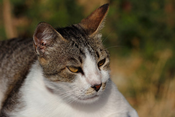Portrait of feral brown-white cat in the countryside