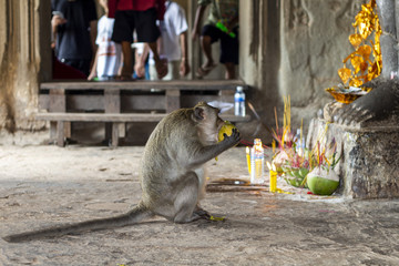Wild monkey in the shrine of Angkor Wat, Cambodia. Monkey eats tropical fruit from divine offering.