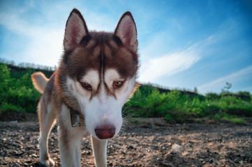 Siberian husky dog looks down into the camera against a blue sky with clouds.