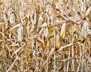 Ripe Corn on the Stalk