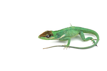 Knight Anole isolated on white background