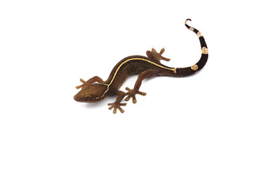 Lined gecko isolated on white background