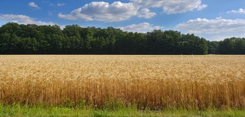 Weizenfeld im Sommer Fotoväggar