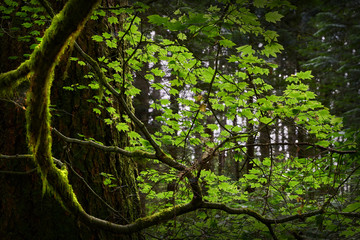 Pacific Spirit Park, Vancouver. Lush forest canopy in a temperate rainforest of the Pacific Northwest. 4K UHD.