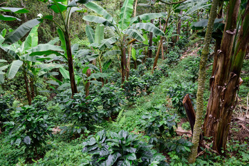 coffee plantation under banana