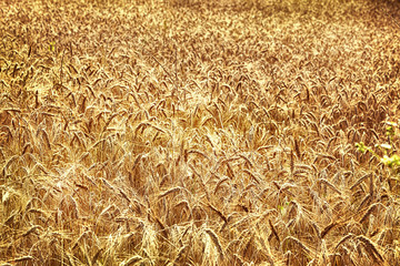 Golden wheat field background